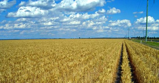 Wheat_-1.jpg