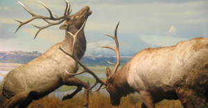elk-fight_thumb-1.png
