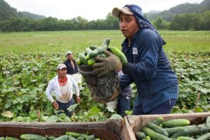Migrant worker cucumbers